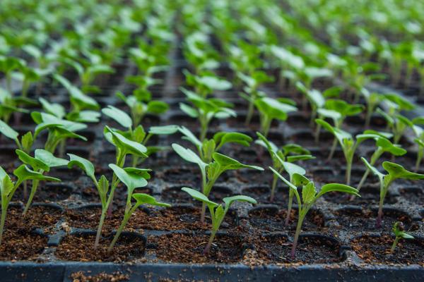 как вырастить рассаду брюссельской капусты