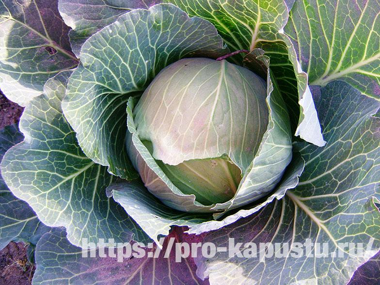 сорта белокочанной капусты