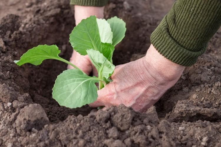 Когда высаживать рассаду капусты в открытый грунт