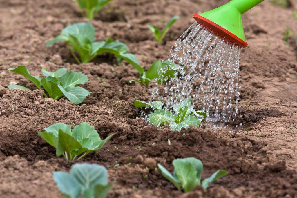 Как правильно поливать капусту?