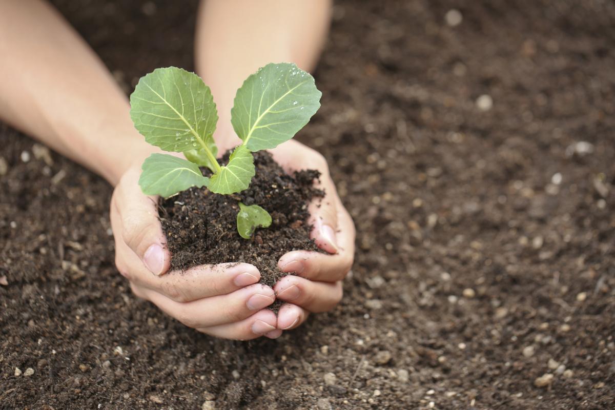 как выращивать рассаду белокочанной капусты
