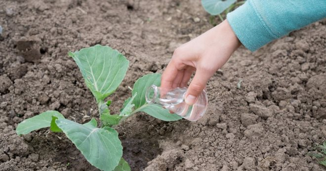 чем подкармливать цветную капусту
