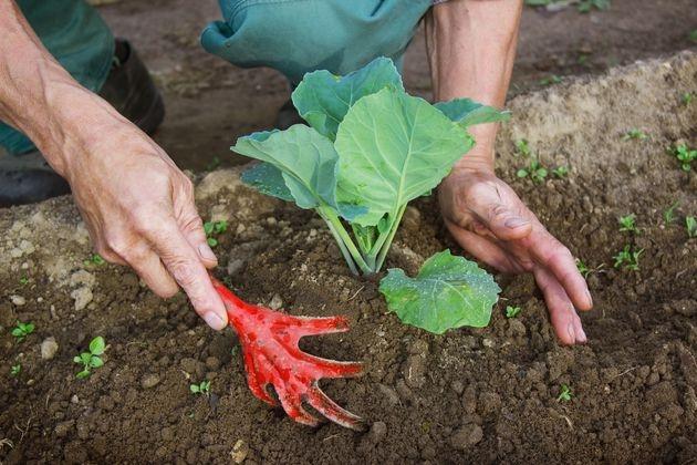 как окучивать капусту